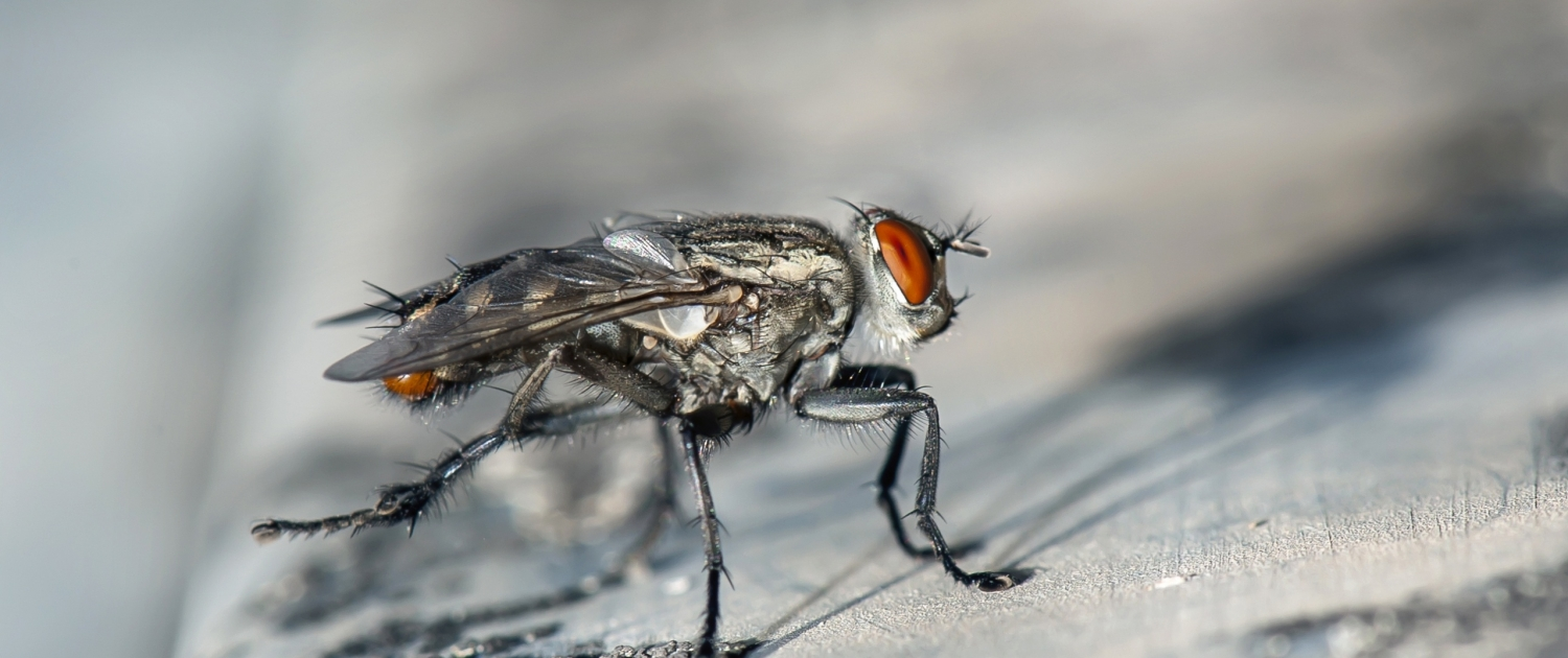 Flea and Fly pest services