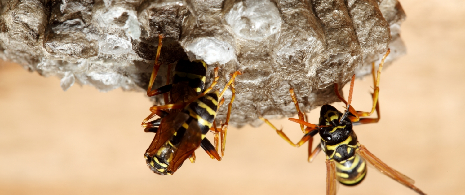 Wasp pest services