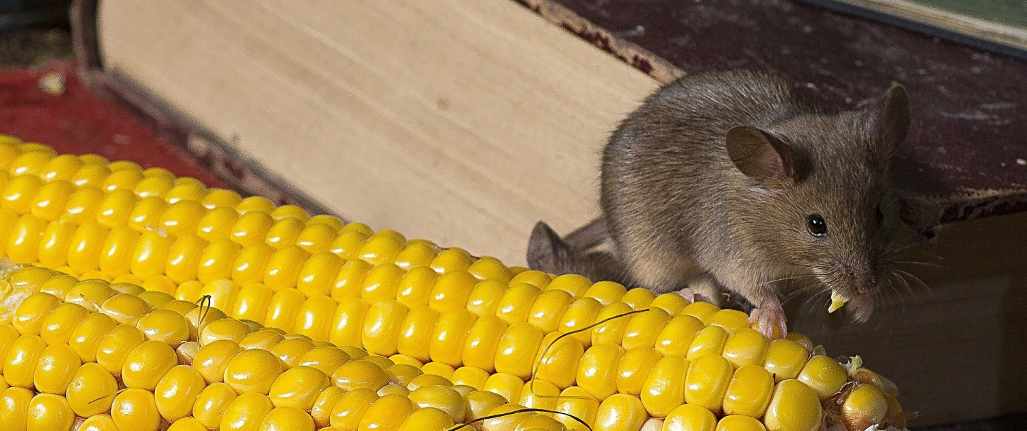 mouse pests control