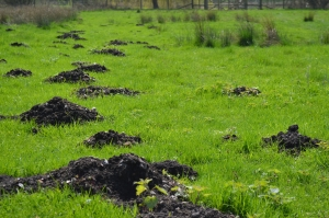 Molehills on grass land